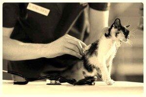 Gato vacunandose