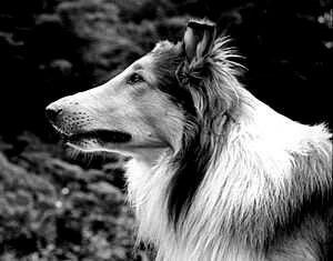 Lassie 1942