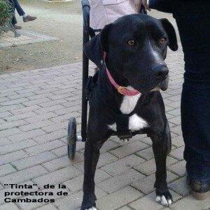 Tinta, perro de la protectora Cambados