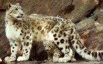 Hallan en el Tíbet los restos del primer felino que pisó la Tierra