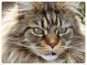 Maine Coon, el gato más greande del mundo