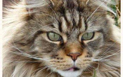 Maine Coon: la leyenda del más grande entre los gatos