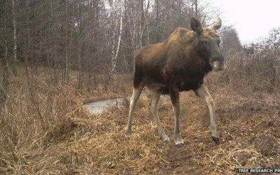Chernobil es invadida por miles de animales silvestres
