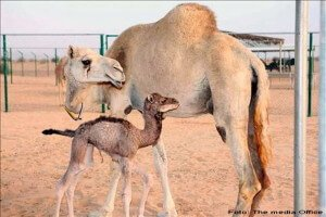 La primera camella clonada del mundo