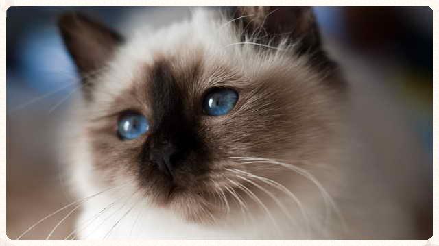 Shin: el primer gato sagrado de Birmania