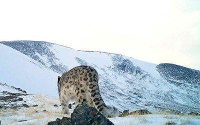 Encontrado el leopardo de las nieves
