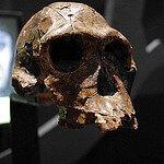 Kenyanthropus-platyops