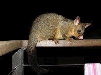 Zarigueya australiana
