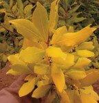 Laurel amarillo