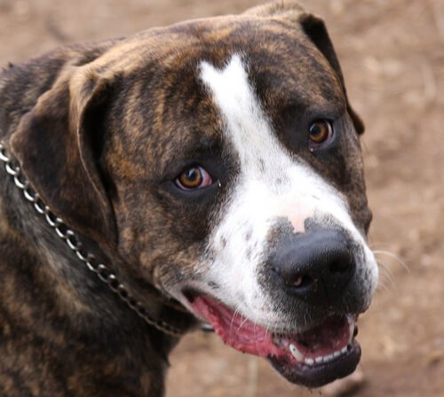 26 de Julio: Día internacional del Pitbull y perros mal llamados PPP