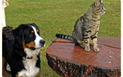 Los gatos, responsables de la extinción de 61 especies de canidos en el planeta