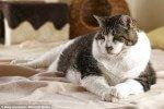 Elvis, el gato más obeso del mundo