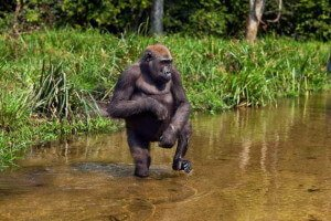 Gorilas de montaña 2