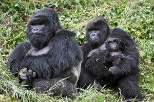Gorilas de montaña en familia