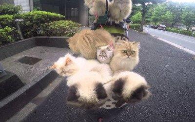 Pasear a tu gato reduce el estrés felino
