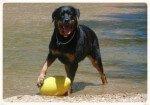Rottweiler: Del pastoreo a perro guardián