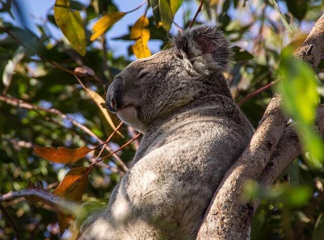 Eutanasian en Australia 686 koalas bajo secreto