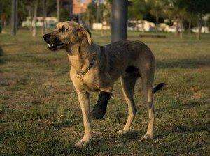 Hook, perdió parte de su pata en un cepo (en adopcion con ANUA)
