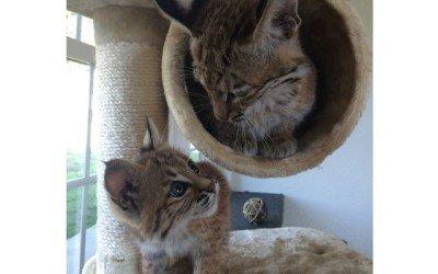 La increíble historia de Mía y Max: Dos linces domésticos