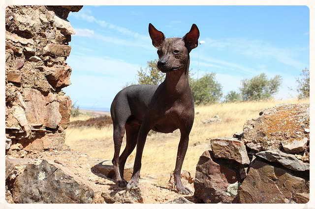 Viringo: El perro ancestral de los Incas