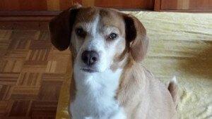 Pisa, rescatada de de la perrera de Bando. Es ciega