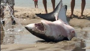 Tiburón blanco recatado en playa