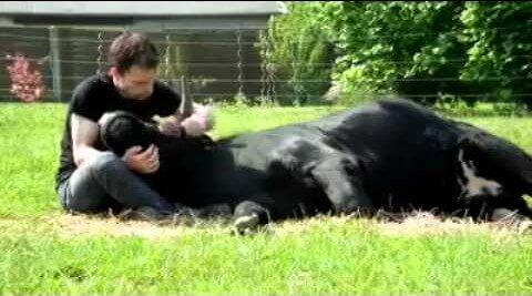 Para que digan que los toros son bravos y salvajes…