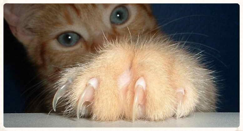 Las uñas en los felinos: consejos prácticos
