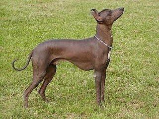 Viringo El Perro Ancestral De Los Incas Cocodise 241 O