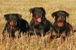 Anciana de 80 años salvada por cuatro Rottweilers