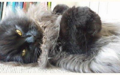 El pelo del gato: cualidades, enfermedades y cuidados