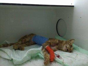 Fallece un gato en Segovia al cual habían disparado decenas de perdigones