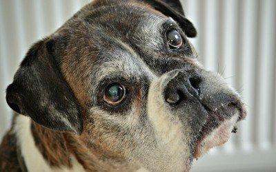 Se acabaron en España las operaciones estéticas en mascotas