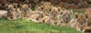 camada de leones
