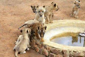 camada leones bebiendo
