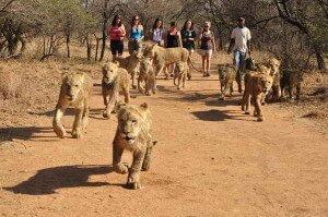pasear con leones