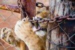 Sangre de leones: El ocaso del rey de la selva