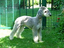 Bedlington terrier 1