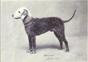 Bedlington Terrier de 1915