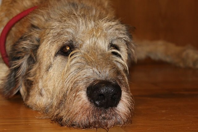 Lobero Irlandés: la leyenda del más grande entre los perros
