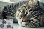 VIF: Síndrome de Inmunodeficiencia Felina ó Sida felino